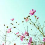 空に向かって咲くピンクのコスモス