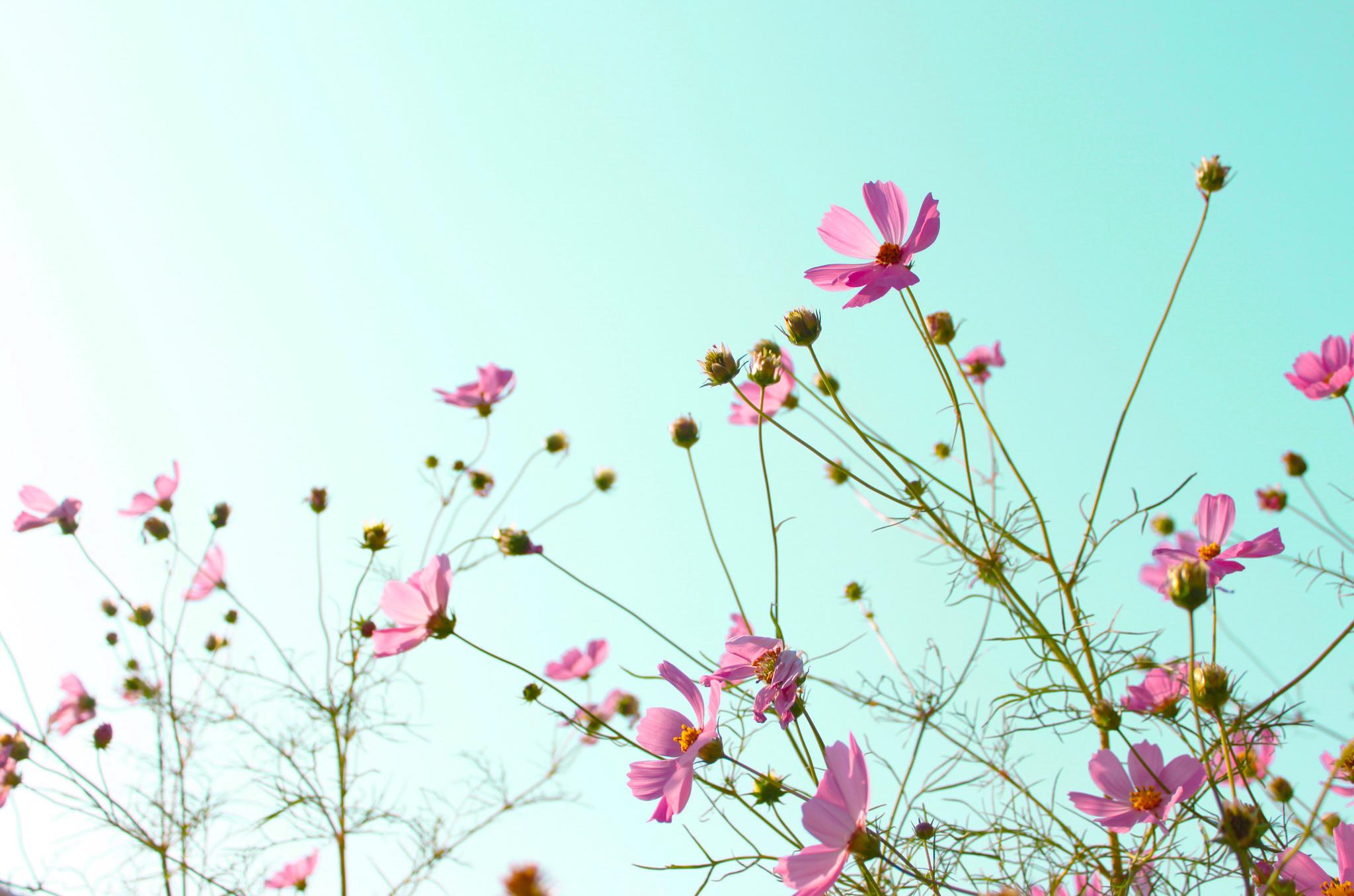 ピンクのコスモスと空
