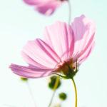 ピンクのコスモスと空 2