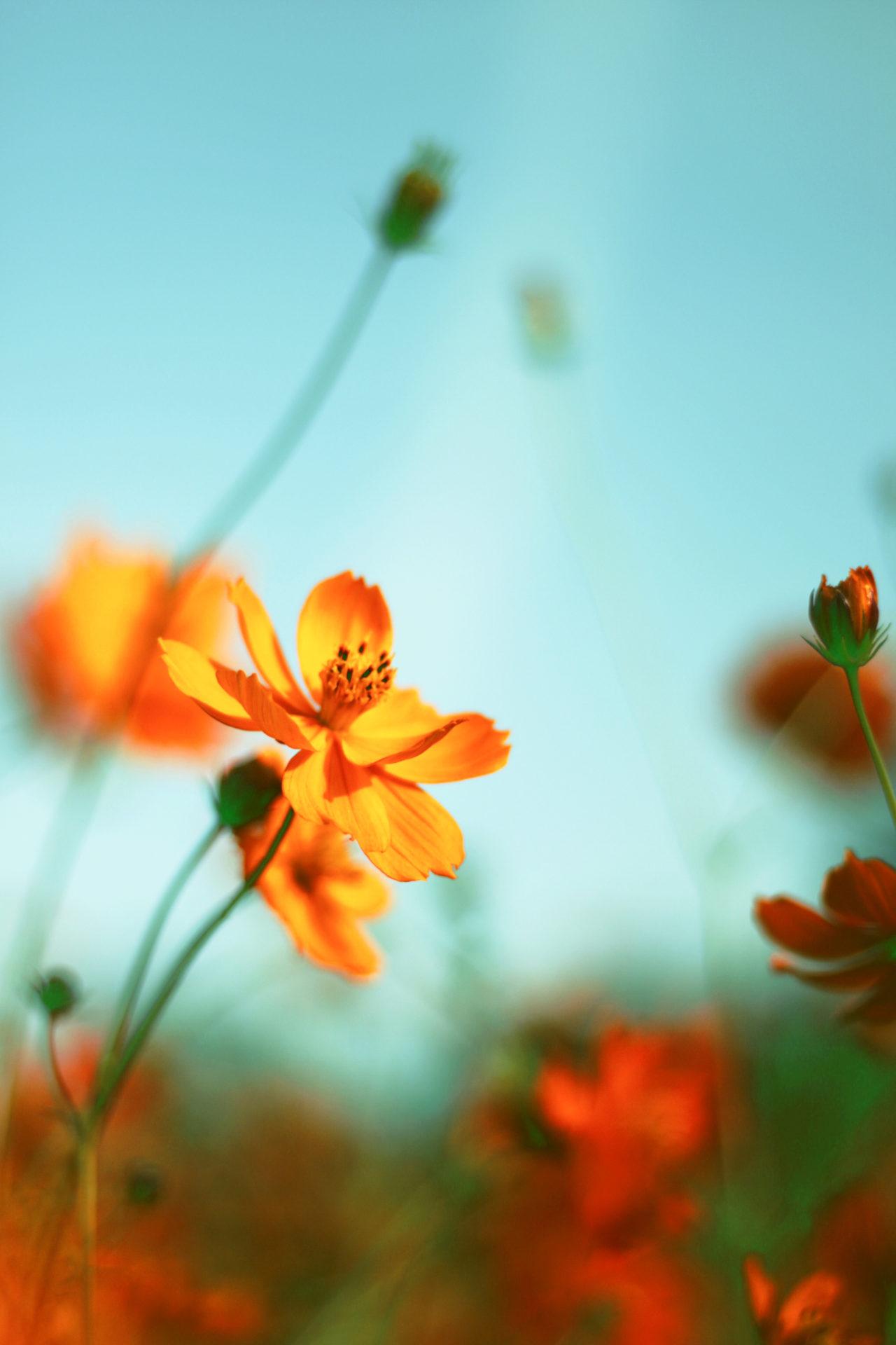 オレンジのコスモスと空