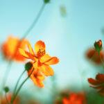 空に向かって咲くオレンジ色のコスモス