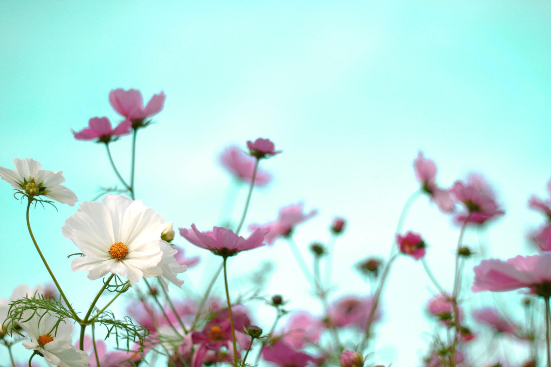 ピンクと白のコスモスと空