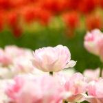 白とピンクのチューリップ