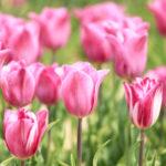 ピンクのチューリップ 1