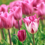 ピンクと白 2色のチューリップ
