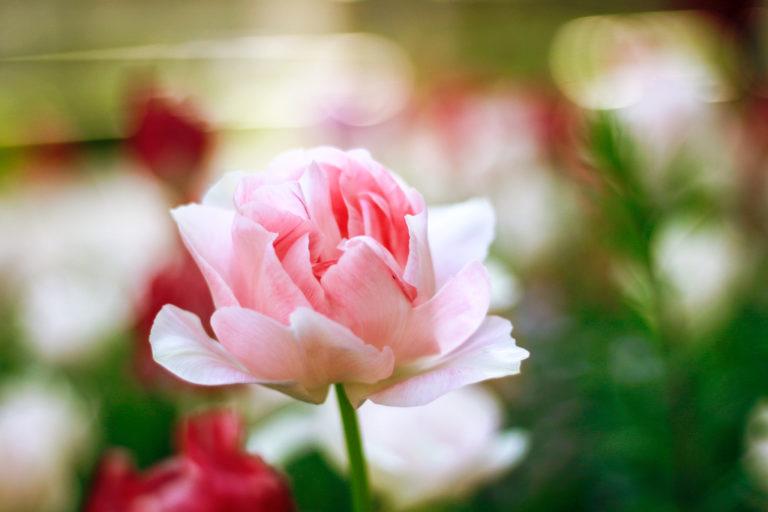 薄ピンクのチューリップ