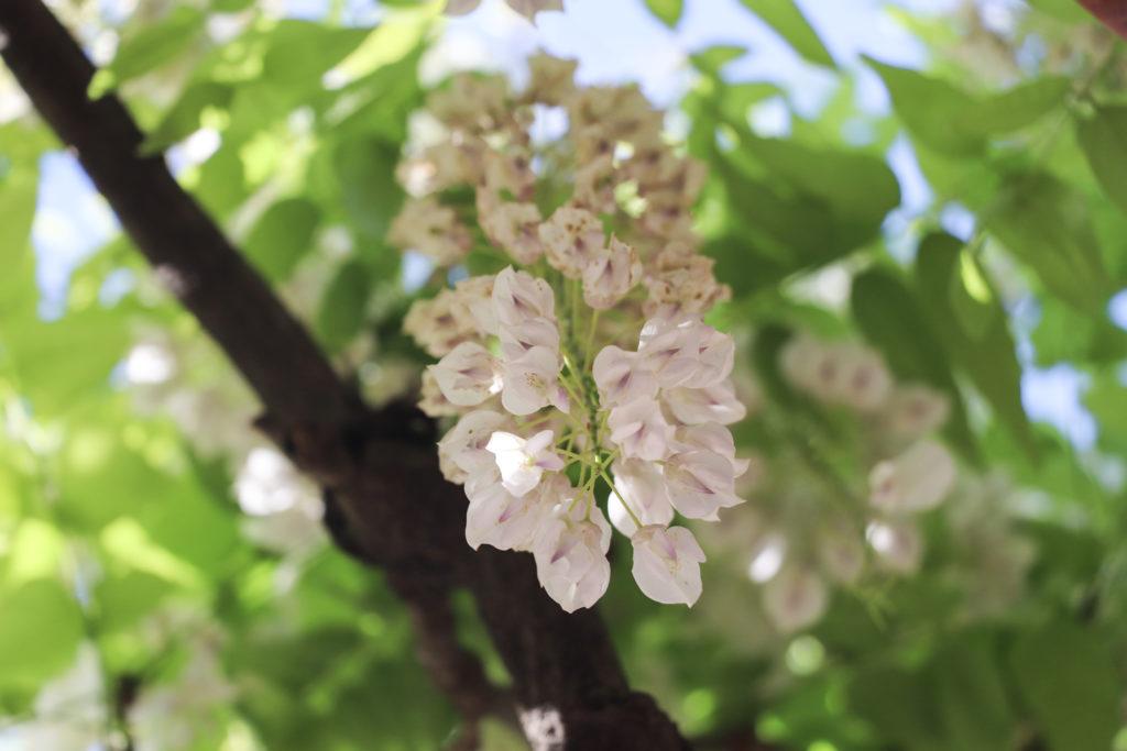 白い藤の花