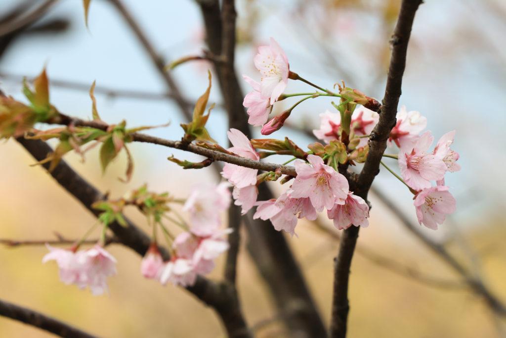 桜 さくら サクラ