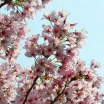 桜と空 5