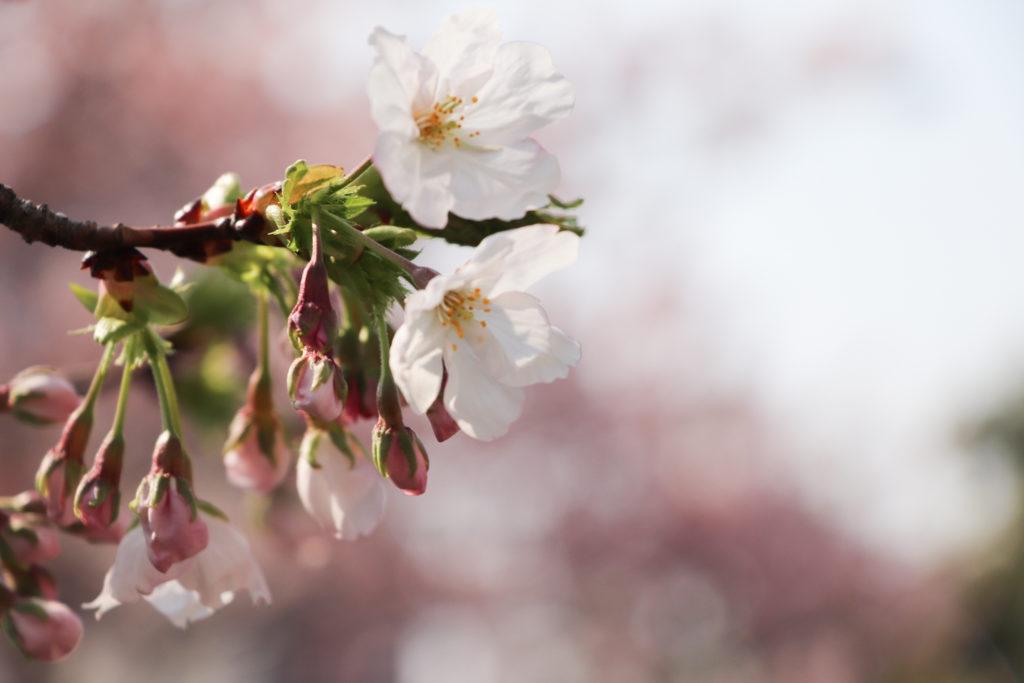 桜(つぼみ)