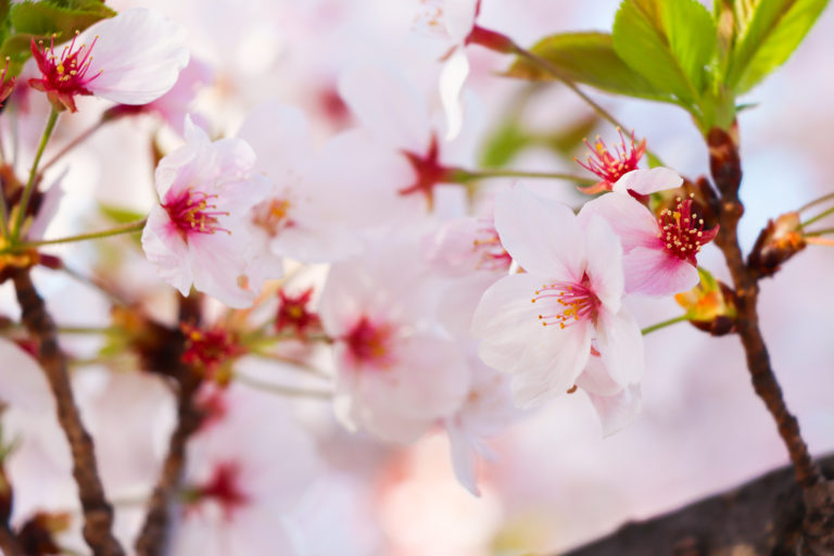 春の花 桜