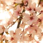 夕暮れ時の桜 1