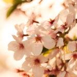 夕暮れ時の桜 2