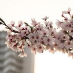 夕暮れ時の桜 4