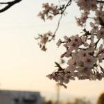 夕暮れ時の桜 5