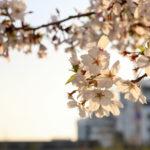 夕暮れ時の桜 6