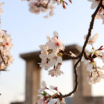 夕暮れ時の桜 7