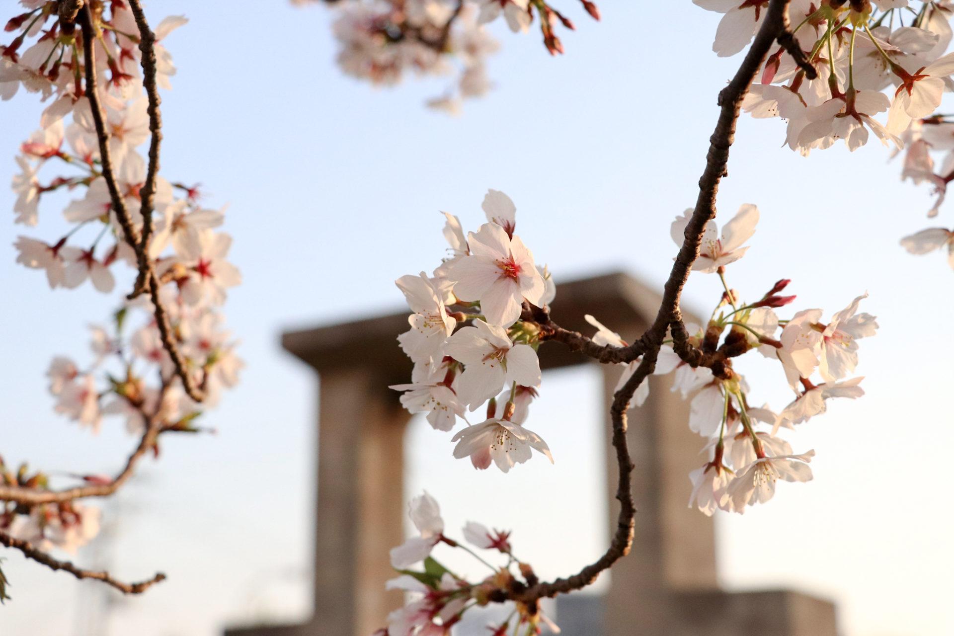 夕暮れ時の桜