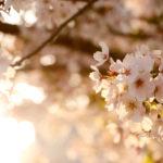 夕暮れ時の桜 8