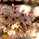 夕暮れ時の桜 9