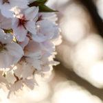夕暮れ時の桜 10