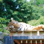 屋根の上でお昼寝中のトラ