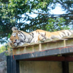 ぐったりと寝ているトラ
