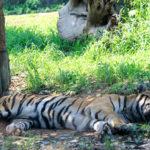 お昼寝中のトラ