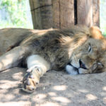 お昼寝中のライオン