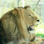 遠くを見つめるオスライオン