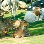 木陰で休む鹿