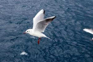 海の上を飛行するゆりかもめ