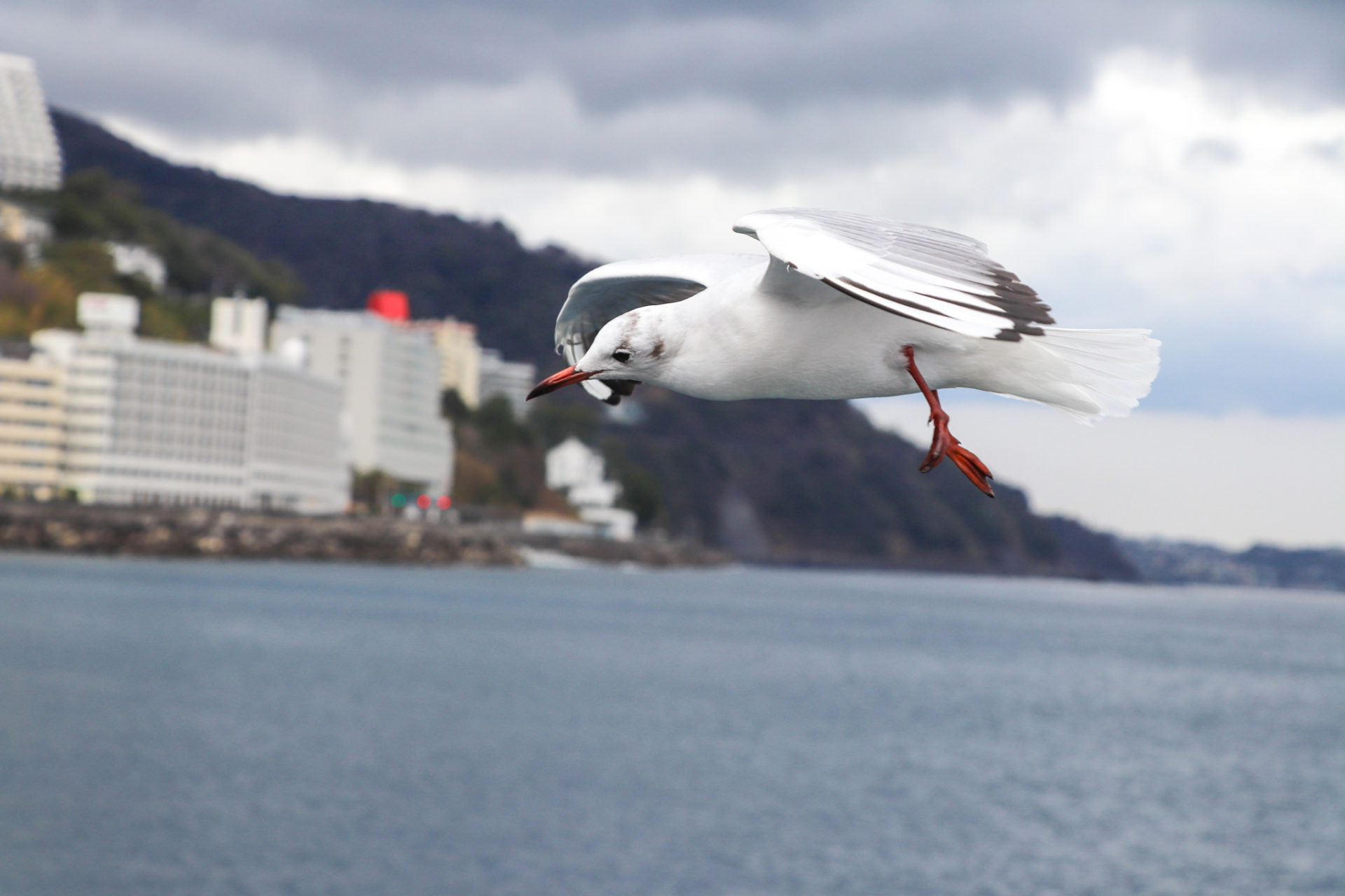 海の上を飛ぶゆりかもめ