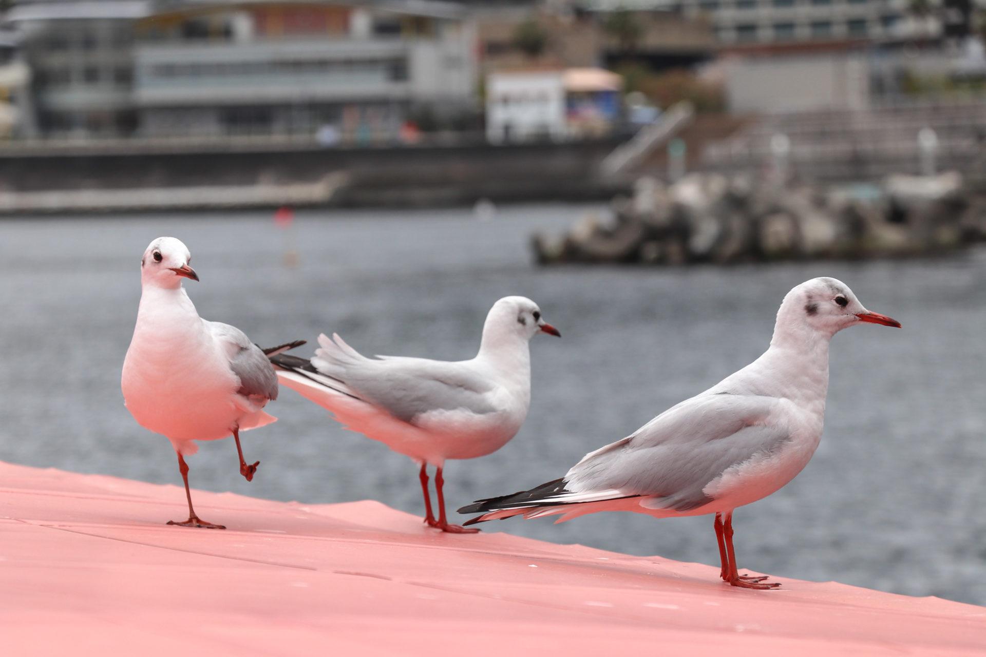 甲板で羽を休めるゆりかもめ