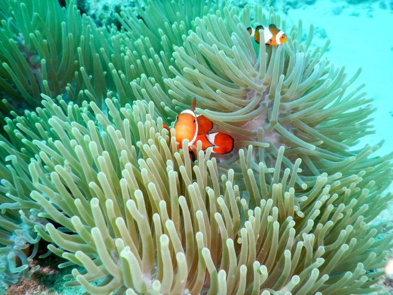 沖縄 石垣島ダイビング 水中のカクレクマノミ