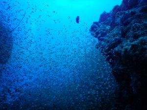 沖縄石垣島の海中風景 小魚の群れ