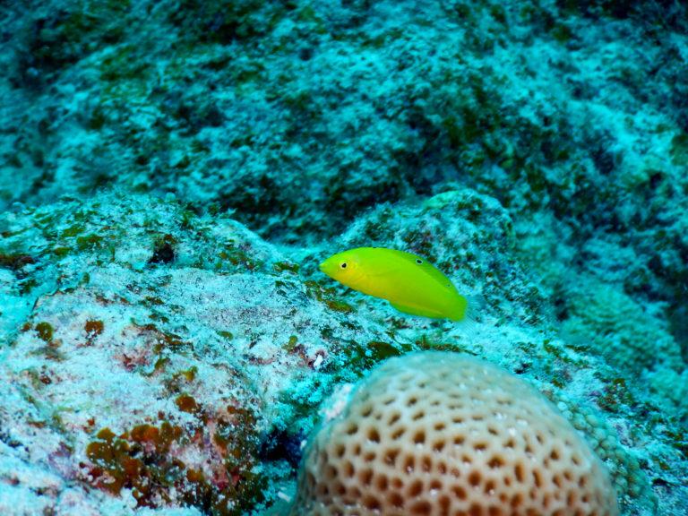 沖縄 石垣島ダイビング 黄色い魚