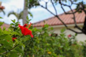南国の花 ハイビスカス