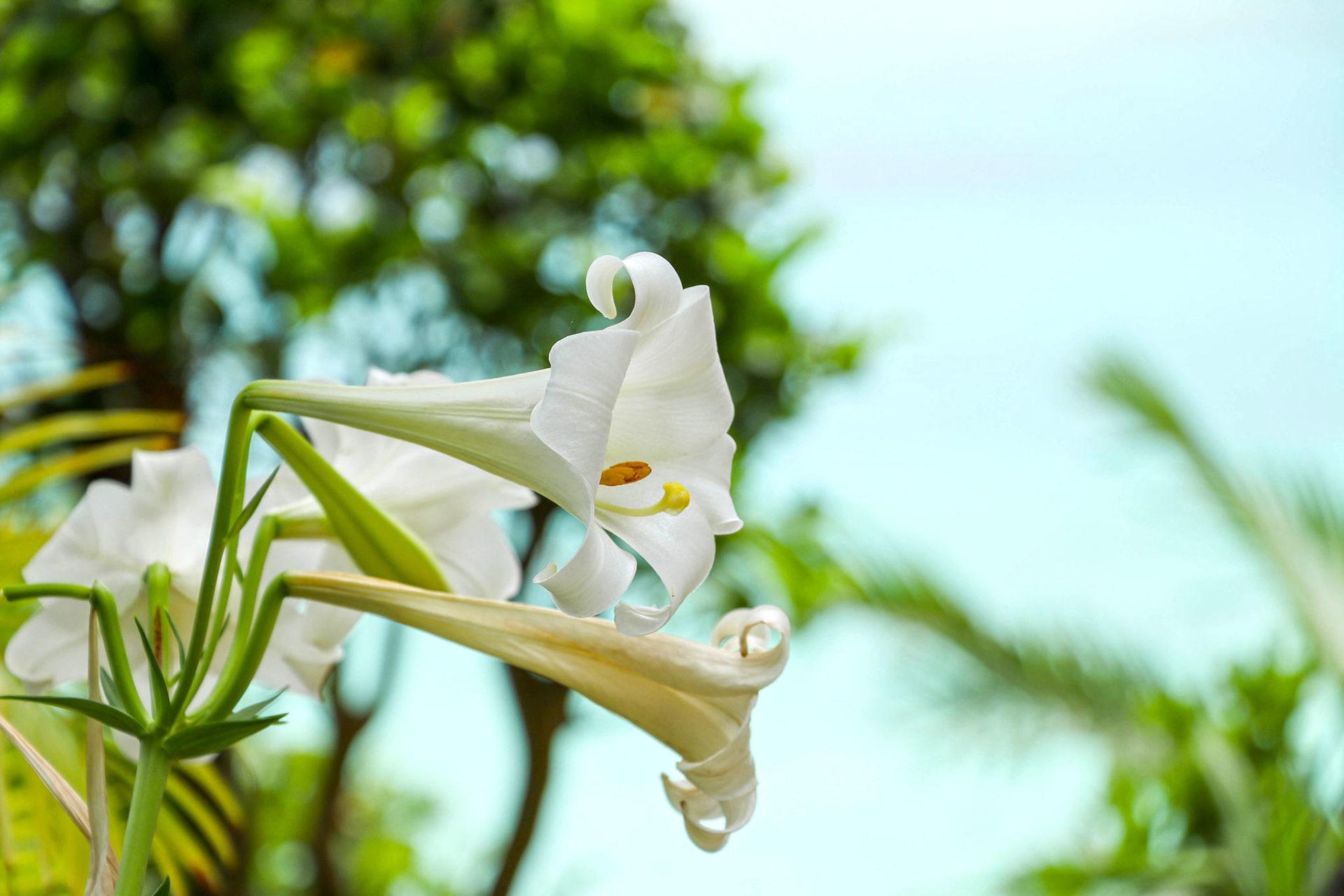 海辺に咲く百合の花