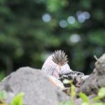 沖縄 竹富島のキンチョウ(錦蝶) 1