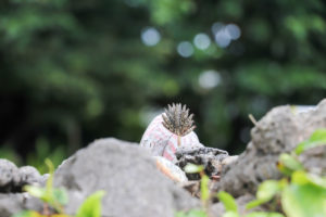 竹富島のキンチョウ(錦蝶)
