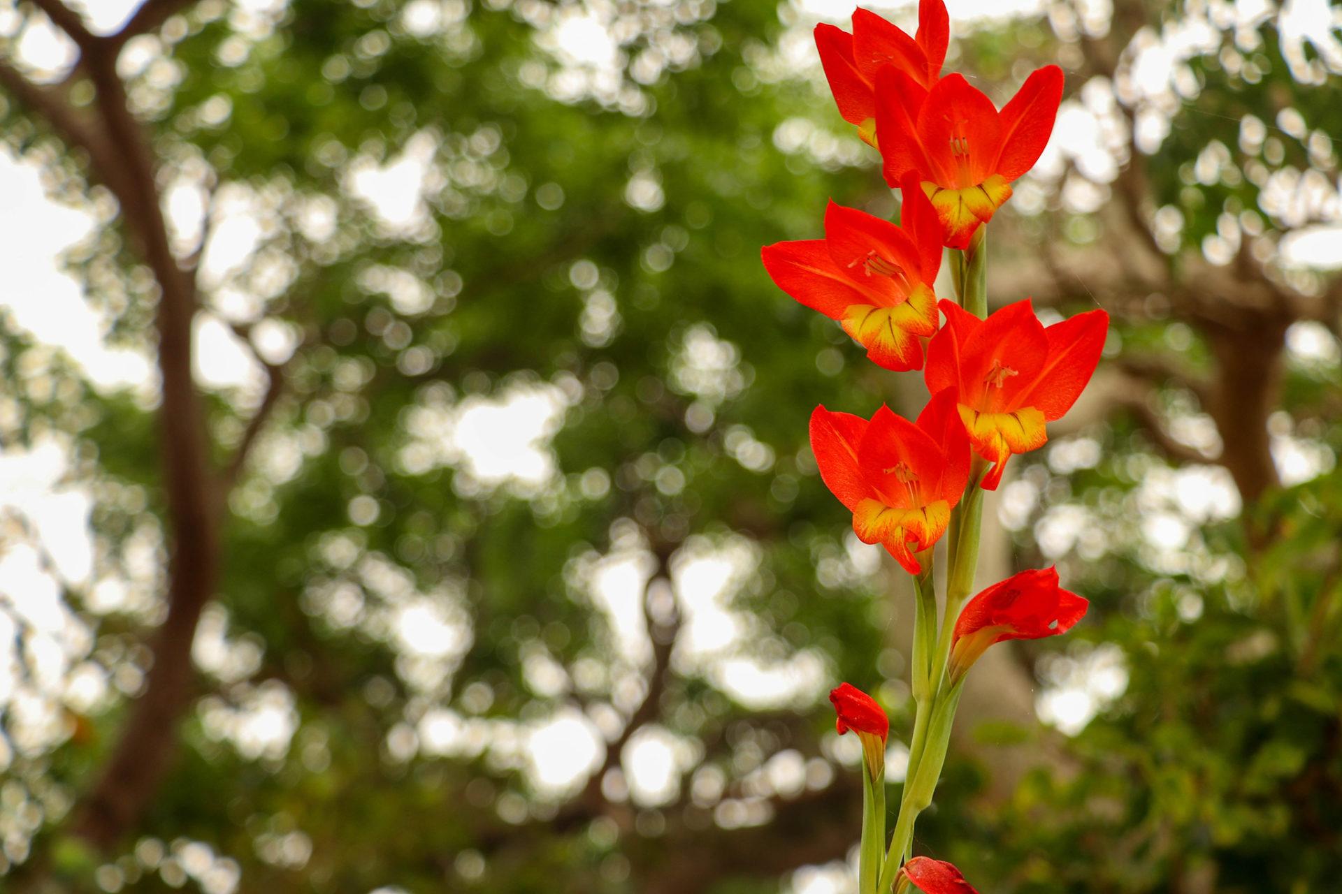 沖縄 竹富島の赤い花