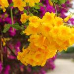 沖縄 竹富島の黄色い花 キンレイジュ 1