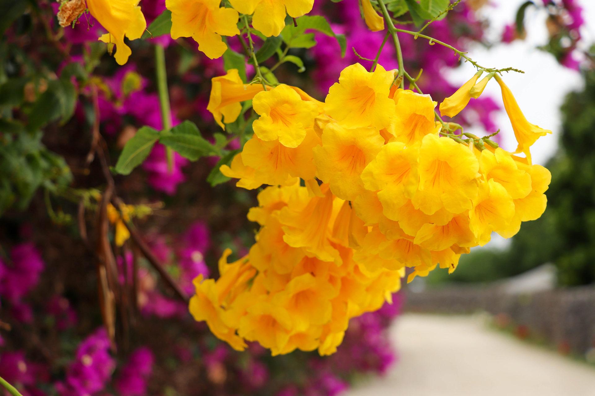 沖縄 竹富島の黄色い花 キンレイジュ