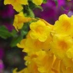 沖縄 竹富島の黄色い花 キンレイジュ 2