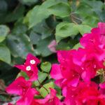 沖縄 竹富島のピンクの花 ブーゲンビリア 1