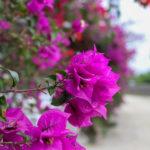 沖縄 竹富島のピンクの花 ブーゲンビリア 2
