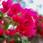 沖縄 竹富島のピンクの花 ブーゲンビリア 3
