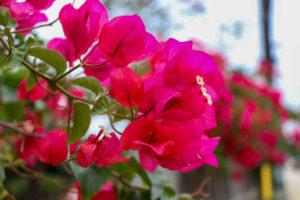 沖縄 竹富島のピンクの花 ブーゲンビリア