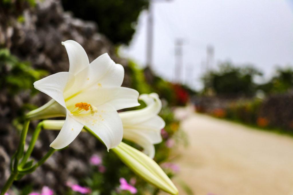 沖縄 竹富島のテッポウユリ